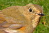 Red-Flanked Bluetail / Tarsiger cyanurus