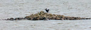 Hiplingur / Phalacrocorax carbo