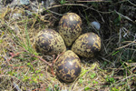 Lógvareiður / The nest of the Golden Plover