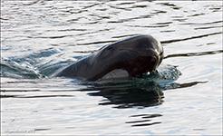 marsvin hval fodre